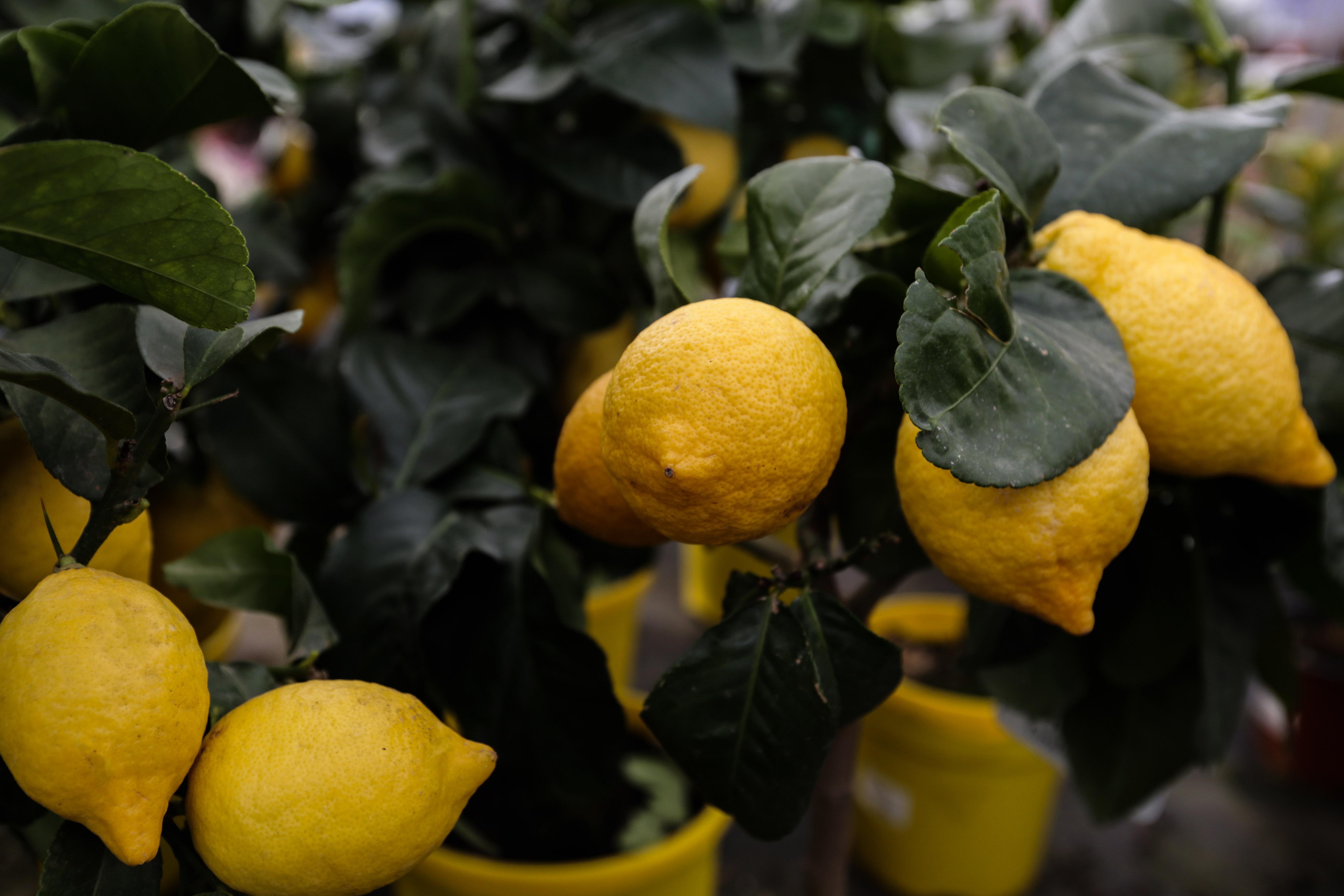 Piante Da Frutto Sempreverdi piante da giardino - floricoltura burlon