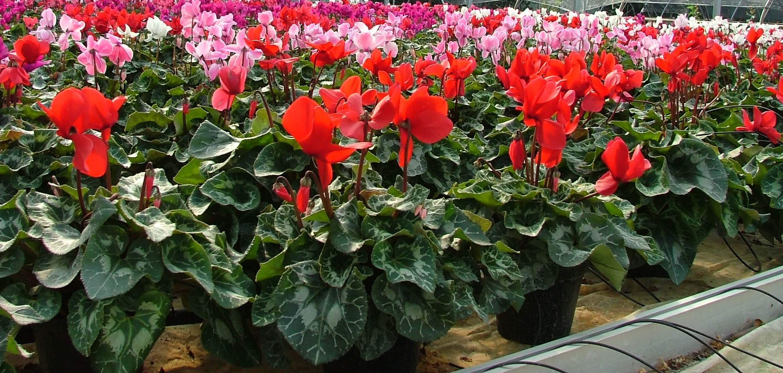 Piccoli Alberi Da Giardino piante da giardino - floricoltura burlon