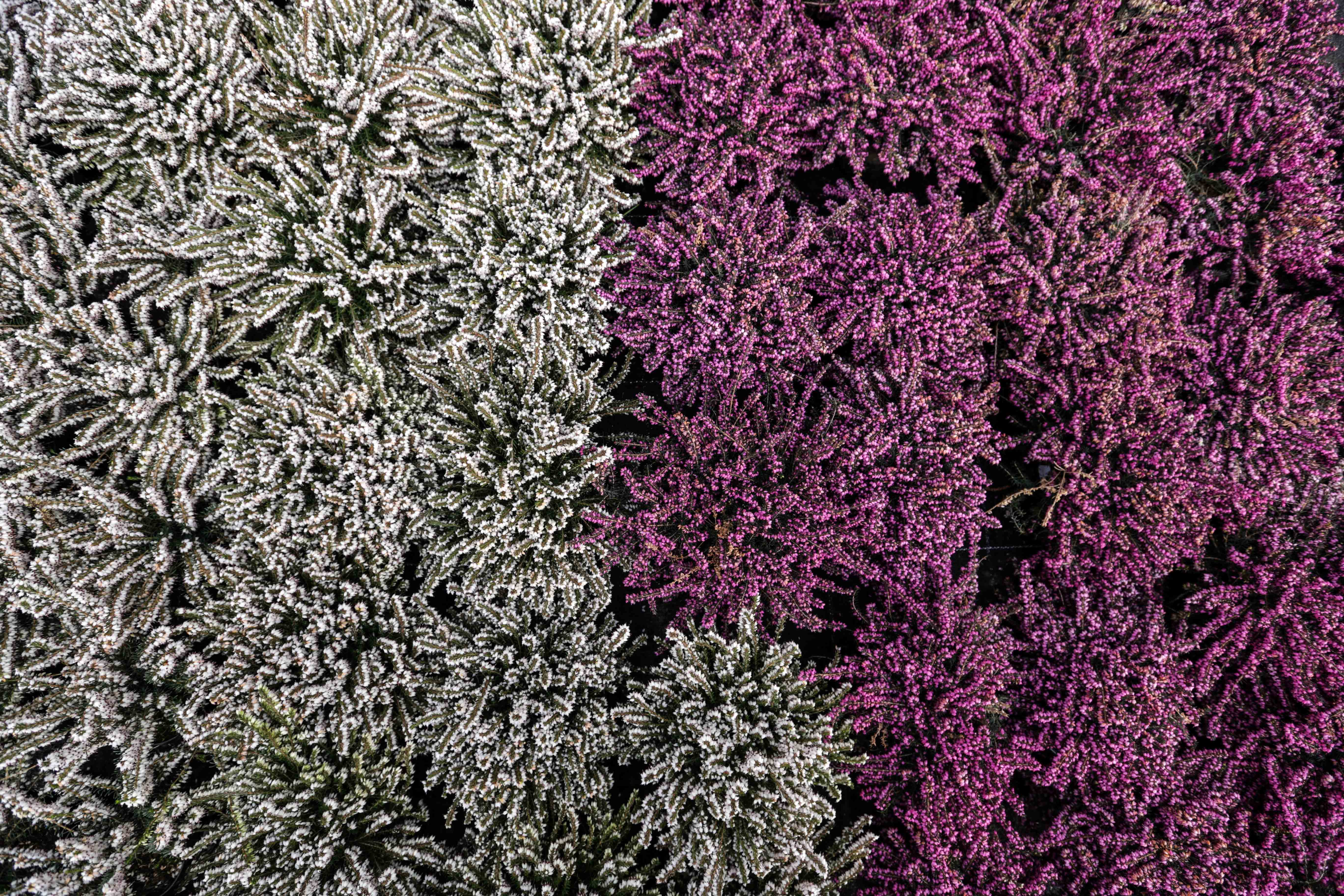 in serra da Burlon trovi, produzione diretta di geranei e surfinie, primule e pansè e tantissimi fiori da balcone e piante ornamentali per il tuo giardino.