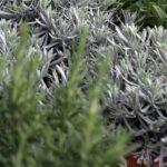 Piante aromatiche - Floricoltura Burlon