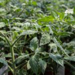 Piante da orto - floricoltura Burlon
